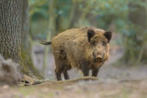 Wild Boar (Sus scrofa) looking in the camera from natural forest surroundings