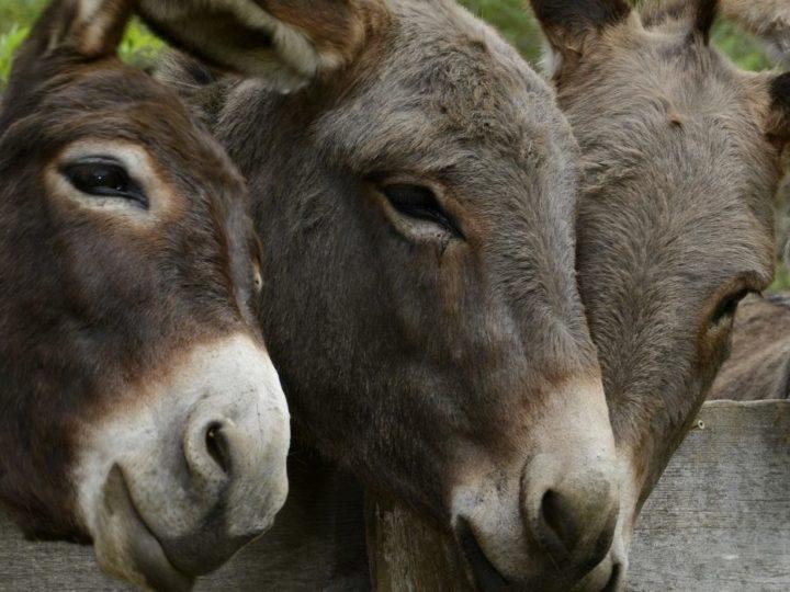 Ein tierisches Vergnügen: Eselwandern in der Eifel