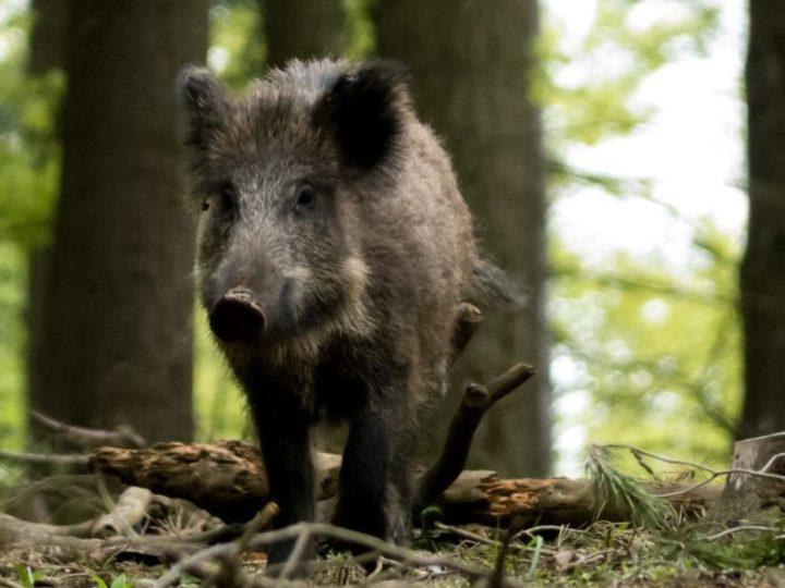 Wildschweine lieben die Eifel