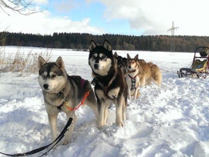 Mit den Huskies auf Tour durch die Eifel
