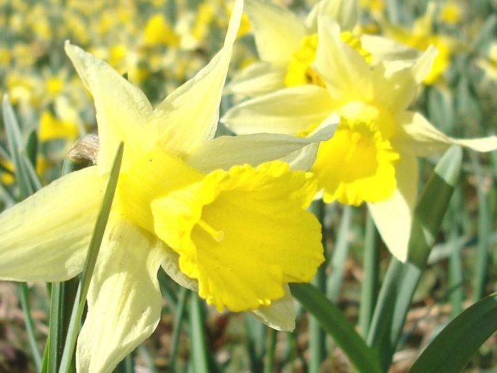 Wenn die wilden Narzissen blühen – die Eifel in gelb